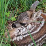 Umgang mit jungen Wildtieren