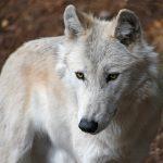Versöhnung bei Hunden und Wölfen