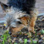 Dürfen Hunde Eicheln fressen?