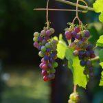 Weintrauben und Hunde?